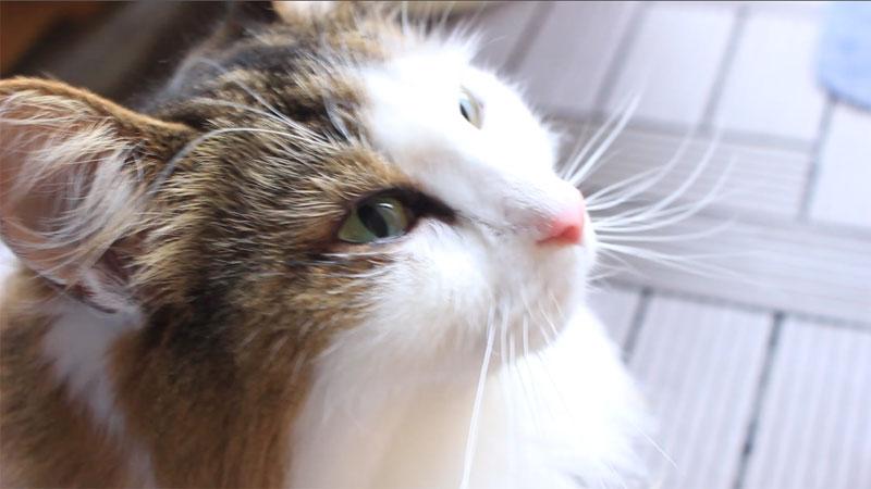 猫の目から涙(症状)